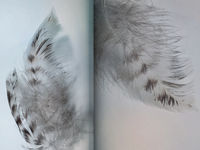 Group of gray spotted owl feathers