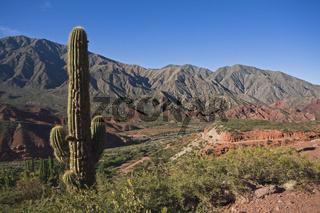 Kaktus in Cuesta de Miranda, Strasse Ruta 40, Argentinien, Cactus, Cuesta de Miranda, road Ruta 40, Argentina