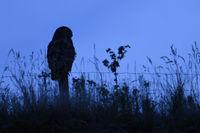 nächtlicher Jäger in Feld und Flur... Europäischer Uhu *Bubo bubo* sitzt auf einem Zaunpfahl