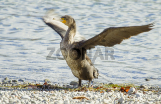 Kormoran  Phalacrocorax carbo