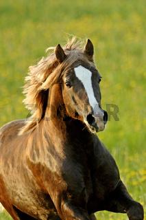 Schönes braunes Welsh Pony