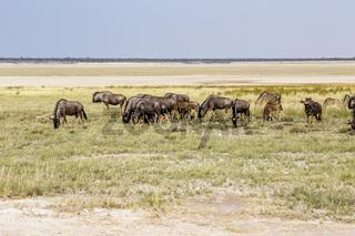 Streifengnu, Etosha-Pfanne, Namibia, Blue Wildebeest, Etosha pan, Namibia