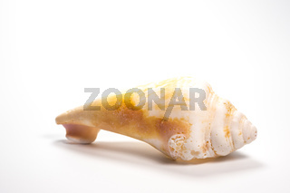 Muschel als Fundstück vom Strand