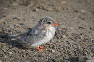 Arctic Tern, Sterna paradisaea, young chick sitting on gravel. Spitsbergen, Svalbard