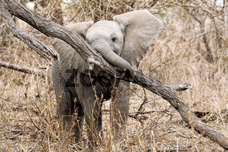 Junger Elefant spielt mit einem Baum im Kruger Nationalpark Südafrika; young african elephant plays with a tree, south africa, wildlife