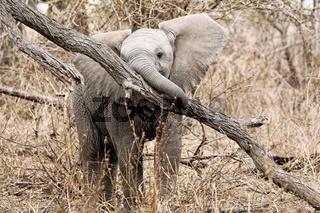 Junger Elefant spielt mit einem Baum im Kruger Nationalpark Südafrika; young african elephant plays with a tree, south africa, wildlife