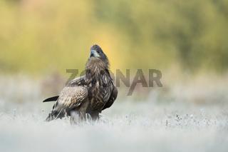 Jungadler auf gefrorenem Boden... Seeadler *Haliaeetus albicilla*