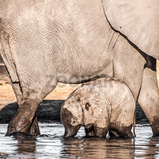 Baby Elephant with Mother in water