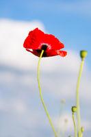 Eine rote Mohnblulme ragt in den Himmel