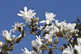 Stern-Magnolie, Magnolia stellata