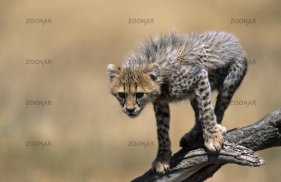 Gepard, Jungtiere, Acinonyx jubatus, Cheetah, kitten