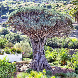 Gigantic old Dragon tree