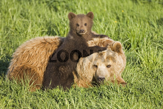 Baerenmutter mit Jungtier, Europaeischer Braunbaer, Baer, (Ursus arctos), Bayern, Deutschland, Brown Bear young, Bavaria, Germany