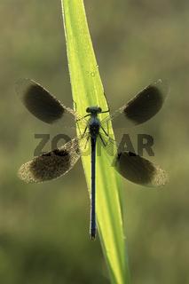 Gebaenderte Prachtlibelle, Maennchen, Calopteryx splendens, Banded Demoiselle, male