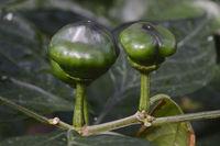 Chiliknospen ( Capsicum chinense) Vorkommen Südamerika