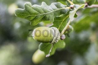 Eichenzweig (Quercus) mit Blatt und Eichelnuss