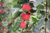 Red ripe apples on branch 20516