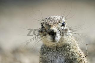 Afrikanisches Erdhoernchen oder Borstenhoernchen, Xerus rutilus, Etosha Nationalpark, Namibia, Afrika, African ground squirell, Etosha National Park, Africa