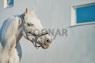romantic portrait of  Lipizzaner horse at white wall background