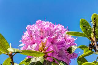 Rhododendron im Azaleen- und Rhododendronpark in Kromlau