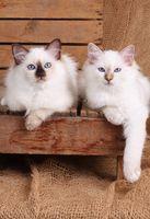 HEILIGE BIRMA KATZE, BIRMAKATZE, SACRED CAT OF BIRMA, BIRMAN CAT, KITTEN, LITTER,