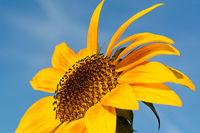 Eine leuchtende aufgeblühte Sonnenblume mit einem blauen Himmel im Hintergrund
