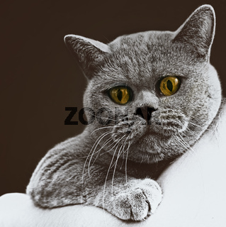 short-haired British gray cat