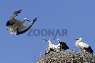 Junge Weissstoerche auf dem Nest (Ciconia ciconia)
