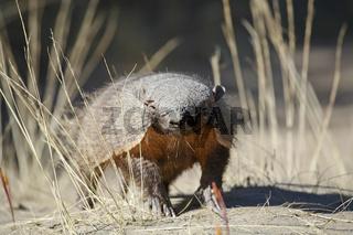Guerteltier (Dasypodidae), Halbinsel Valdes, Argentinien