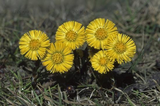 Gemeiner Huflattich (Tussilago farfara)
