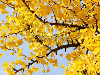 Blätter des Ginkgo im Herbst