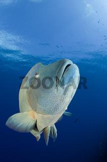 Napoleon Lippfisch, Cheilinus undulatus, Blue Corner, Mikronesien, Palau, Humpback Wrasse, Micronesia