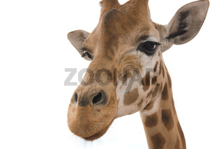 closeup giraffe on white