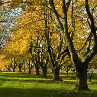 Obstbäume im Herbstlaub, fruit trees in autumn