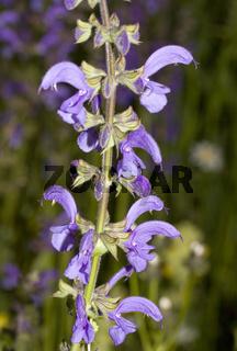 Wiesensalbei Salvia pratensis