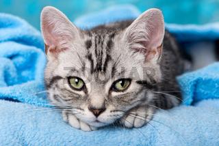 Britisch Kurzhaar Kätzchen