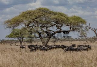 Gnusherde im Serengeti Natonalpark