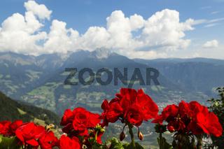 Pelargonien in Südtirol, Italien, Storksbills in South Tyrol, Italy