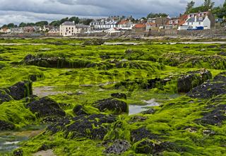 Algenbänke bei Ebbe in der Largo Bucht, Lower Largo, Fife, Schottland, Grossbritannien
