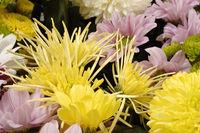 Chrysanthemums, often called 'mums'.