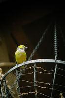 bird in yellow against a dark background