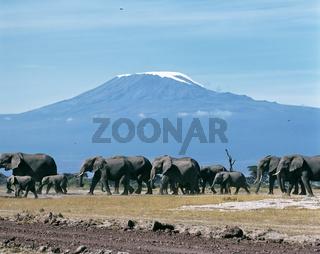 Elefanten vor Kilimanjaro, Amboseli NP, Kenya