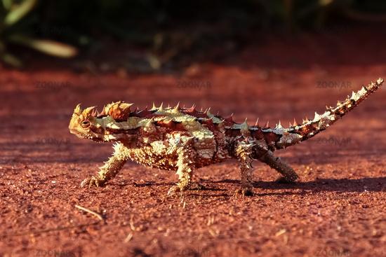 Dornteufel im Outback Australiens