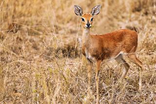 Weibliches Steinböckchen im Kruger Nationalpark, Südafrika, female steenbok in South Africa, Raphicerus campestris