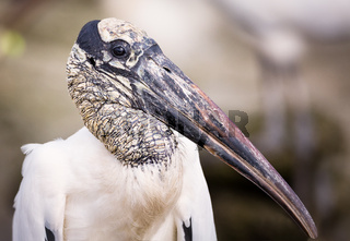 A Wild Stork Portrait