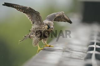 Gleichgewichtsübungen... Wanderfalke *Falco peregrinus*