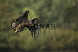 kraftvoll... Seeadler *Haliaeetus albicilla*