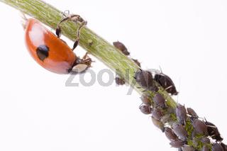 Zweipunkt Marienkäfer (Adalia bipunctata) mit Blattläusen (Aphidoidea) -  two spotted lady beetle (Adalia bipunctata) with  greenfly (Aphidoidea)