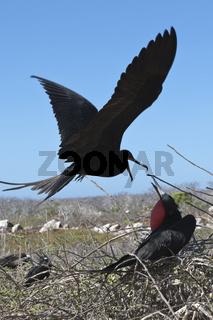 Fregattvoegel, Galapagos, Ecuador