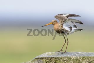 Uferschnepfe, Limosa limosa, black tailed godwit on pole